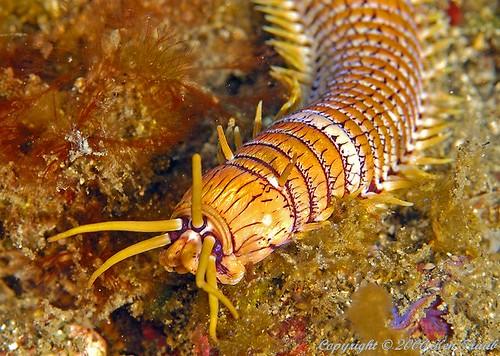 9522 Bobbit worm