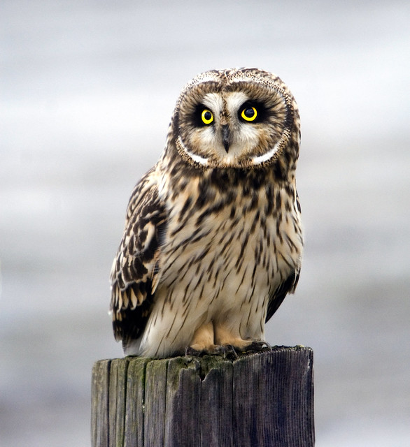 Short-eared Owl | Flickr - Photo Sharing!