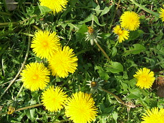 annual plant, dandelion, flower, yellow, sow thistles, herb, wildflower, flora,