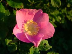 blossom(0.0), garden roses(0.0), annual plant(1.0), flower(1.0), rosa gallica(1.0), rosa rubiginosa(1.0), macro photography(1.0), rosa canina(1.0), flora(1.0), rosa acicularis(1.0), petal(1.0),