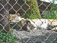animal, big cats, zoo, tiger, mammal, fauna, wildlife,