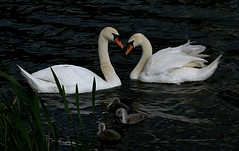 Swans and other waterfowl