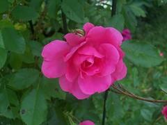 shrub(0.0), rosa rubiginosa(0.0), rosa canina(0.0), rosa acicularis(0.0), rosa rugosa(0.0), rosa wichuraiana(1.0), annual plant(1.0), garden roses(1.0), rosa 㗠centifolia(1.0), floribunda(1.0), flower(1.0), rosa gallica(1.0), plant(1.0), flora(1.0), rosa chinensis(1.0), petal(1.0),