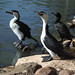Australian Pied Cormorant - Photo (c) Natalie, some rights reserved (CC BY-NC-ND)