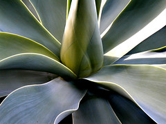 agave, leaf, plant, macro photography, flora, green, agave azul, close-up,
