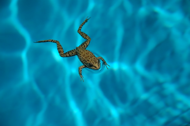 frog stuck in the swimming pool flickr photo sharing