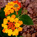 Orange Lantana with Two Sprigs Coming