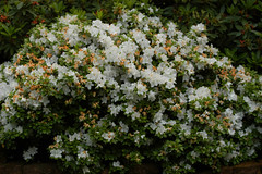 jasmine, shrub, flower, plant,