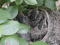 robin's nest June 8, 2005