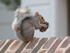 IMG_7797: Squirrel