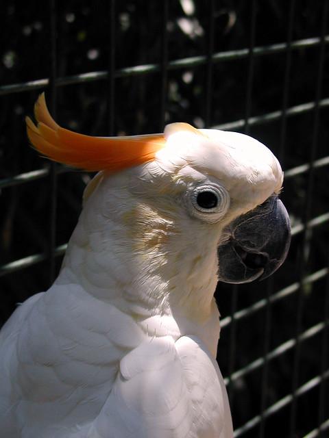 Citron cockatoo - photo#27