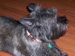 dog breed, animal, dog, schnoodle, pet, mammal, vulnerable native breeds, cairn terrier, miniature schnauzer, affenpinscher, scottish terrier, terrier,
