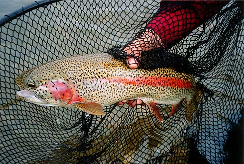 Leopard or Fine-Spotted Alaska Rainbow
