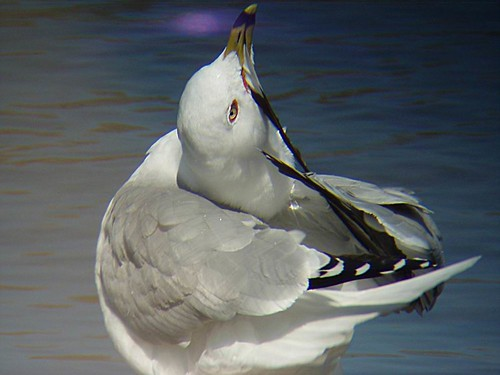 Goéland à bec cerclé - Ring billed Gull  Lasalle  14-04-2006   P4140051