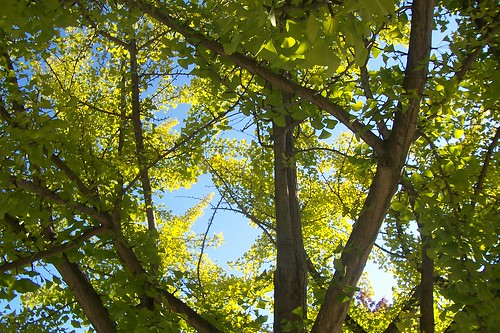 Gingko yellows and greens
