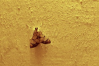 Stippled cream moth
