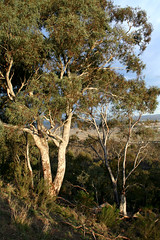 Mt Ainslie Eucalypt