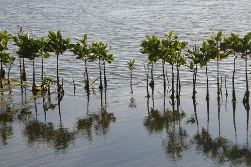 印尼亞齊省在2004年的海嘯過後,展開種植紅樹林的計畫。(來源:helen buckland)