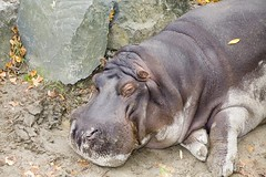 Hippopotamus - Dublin Zoo