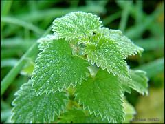 shrub(0.0), flower(0.0), produce(0.0), annual plant(1.0), leaf(1.0), tree(1.0), plant(1.0), green(1.0), frost(1.0), urtica(1.0),