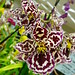 Oncidium type