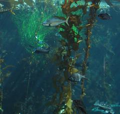coral reef(1.0), algae(1.0), seaweed(1.0), fish(1.0), coral reef fish(1.0), macrocystis pyrifera(1.0), macrocystis(1.0), marine biology(1.0), underwater(1.0), reef(1.0), kelp(1.0),