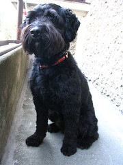 dog breed, animal, dog, schnoodle, pumi, pet, tibetan terrier, glen of imaal terrier, standard schnauzer, bolonka, poodle crossbreed, havanese, black russian terrier, schnauzer, bouvier des flandres, cockapoo, portuguese water dog, miniature schnauzer, affenpinscher, carnivoran, terrier,