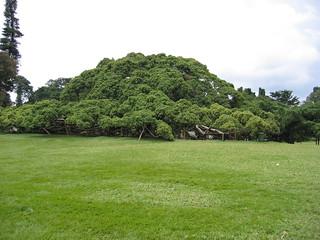 Enormous fig tree, Peradeniya Botanical Garden, Sri Lanka