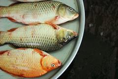 tilapia, animal, carp, fish, fish, common rudd, goldfish,