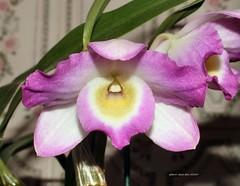 cattleya labiata(0.0), plant(0.0), cattleya trianae(0.0), flower(1.0), purple(1.0), macro photography(1.0), laelia(1.0), phalaenopsis equestris(1.0), flora(1.0), dendrobium(1.0), pink(1.0), petal(1.0),