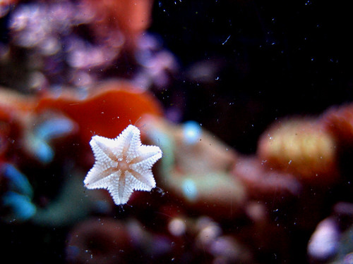 teeny sea star; asterina