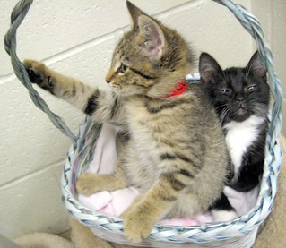 Tabby Kitten Squishes Tuxedo Kitten in Basket