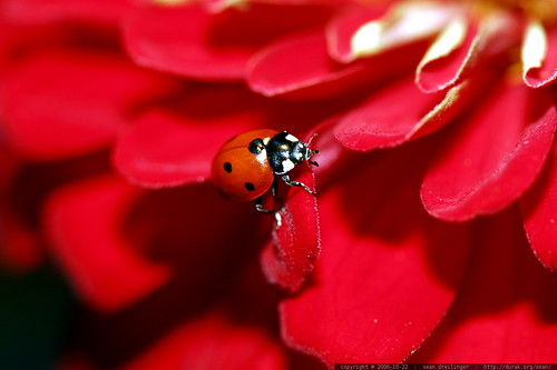 ladybug on red zinnia flower    MG 2753