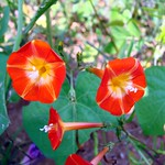 small orange-red morning glories