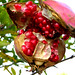 Pomegranate - Photo (c) Angelo Amboldi, some rights reserved (CC BY-NC-ND)