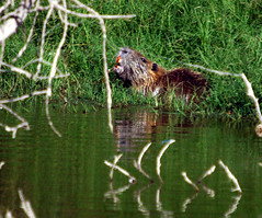 animal, grass, rodent, fauna, beaver, wildlife,