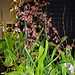 Oncidium Sharry Baby habit