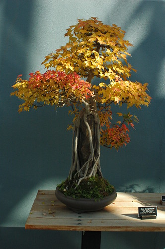 Acer buergerianum, Bonsai, Root over rock style (Sekijoju), Brooklyn Botanic Garden by Flatbush Gardener