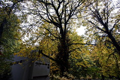 autumn view of our house   yellow maple leaves    MG…