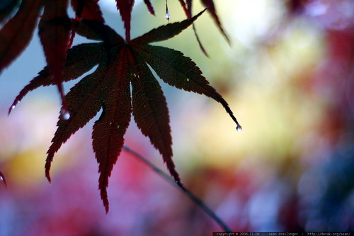 japanese maple leaf silhouette     MG 4801
