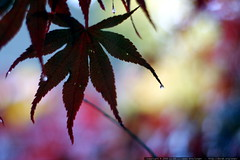 japanese maple leaf silhouette     MG 4801