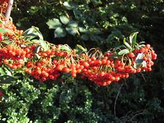 shrub(0.0), flower(0.0), produce(0.0), autumn(0.0), evergreen(1.0), berry(1.0), leaf(1.0), tree(1.0), plant(1.0), flora(1.0), rowan(1.0),