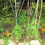 Tomatoes - - growing