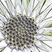 Pharted Osteospermum #2