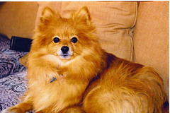 dog breed(1.0), animal(1.0), german spitz klein(1.0), dog(1.0), pet(1.0), german spitz(1.0), finnish spitz(1.0), german spitz mittel(1.0), carnivoran(1.0), pomeranian(1.0),