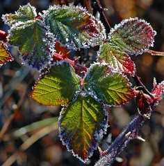 Frost on the invasive blackberries
