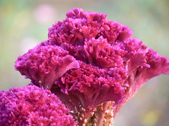 Celosia argentea var. cristata
