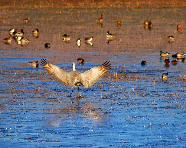 Flashy Sandhill Crane