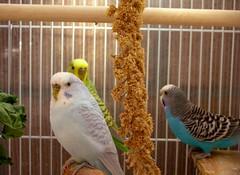 animal, parrot, wing, pet, fauna, finch, parakeet, common pet parakeet, beak, bird,