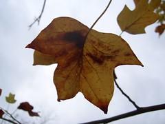 21. Oktober 2006 - 14:13 - Herbstblatt eines Tulpenbaumes